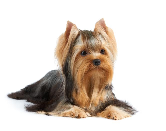 Pesu pikakarvalisele koerale Tallinnas, koerte grooming Tallinnas, yorkshire terjer grooming